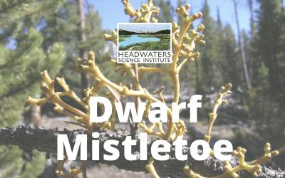 Dwarf Mistletoe Lesson Packet