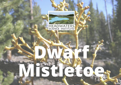 Dwarf Mistletoe Lesson Packet