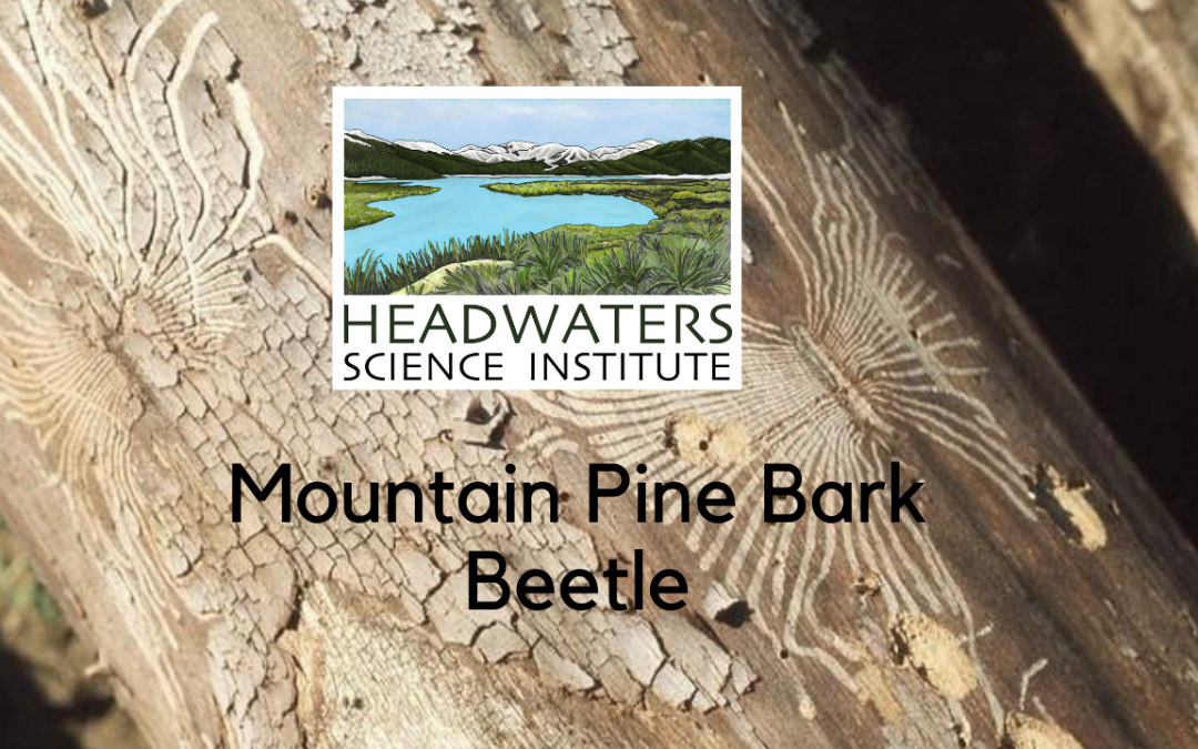 Mountain Pine Bark Beetle Lesson Packet